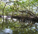 Riding between mangroves