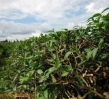 Tea plantation, Guria region