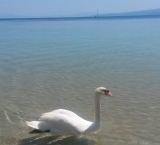 Swan peacefully swims at Koukounaries beach