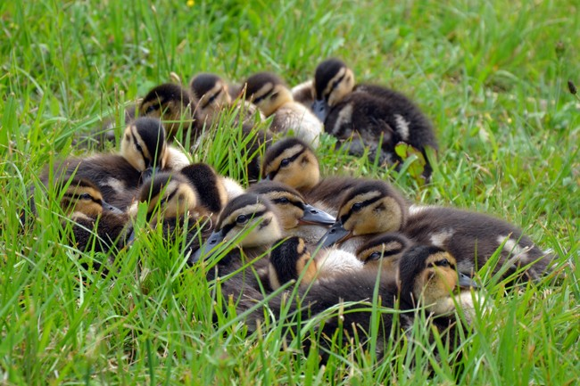 Young ducks nearby Lake Bled Slovenia