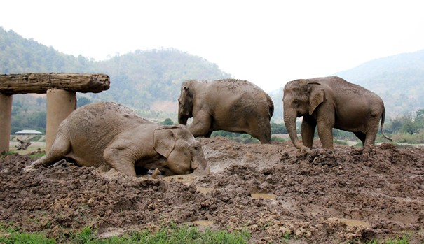 After lunch and washing in the river the elephant get their daily mud bath which protects them from the hot sun