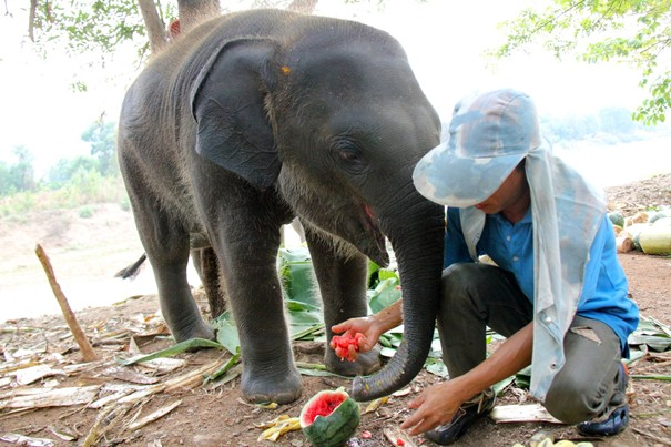 7 months old – 200kg, playful baby elephant at the Elephant Nature park Chiang Mai