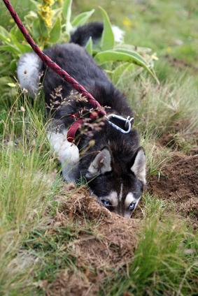 Truffle hunting dog