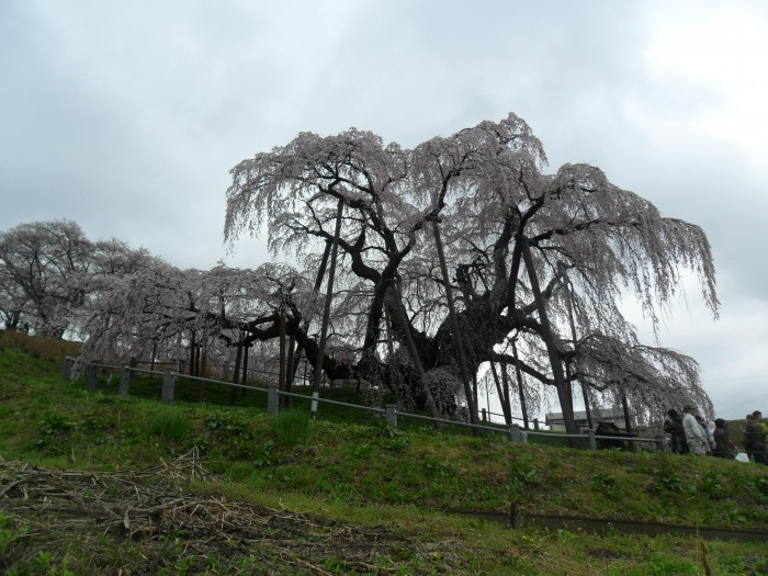 Dewa Zakura. The Great Sakura Tree in Fukushima Prefecture. May 2011