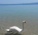 Swan peacefully swims at Koukounaries beach