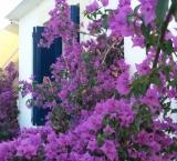 Greece without bougainvillaea is like life without art (: Skiathos