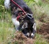 Truffles hunting dog