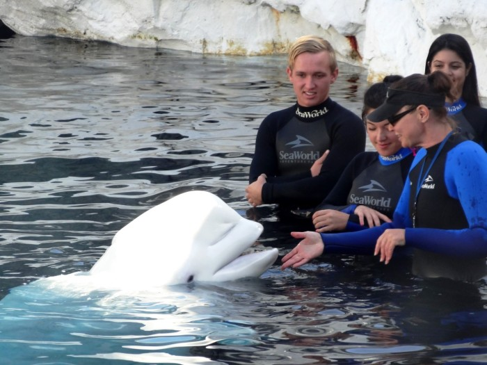 Becoming friends with a beluga whale