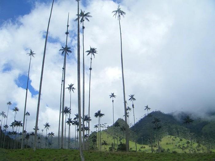 "Wax Palm Trees – National Tree – Salento, the ""coffee capital"""