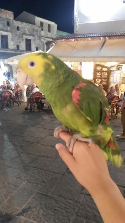 Tamed parrots of Hippocrates Square of Rhodes Island. Summer 2014